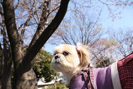 くるみと桜2
