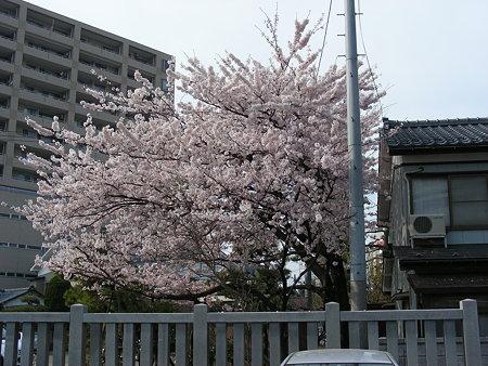 三社神社のソメイヨシノ