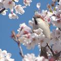 桜とニュウナイスズメ