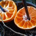 冬の夕暮れヒヨに蜜柑。