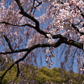 京都御所の桜?