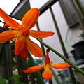 Photos: 橙の星花