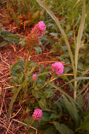 夕染の赤詰草