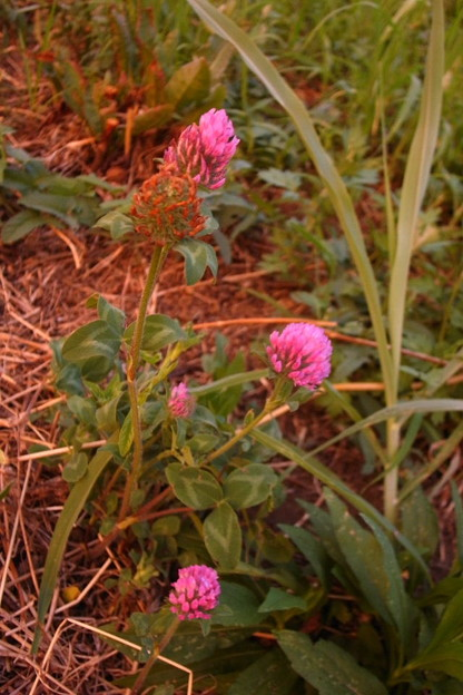 写真: 夕染の赤詰草