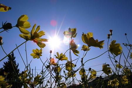 青空と黄花