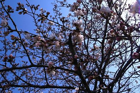 桜枝越しの青