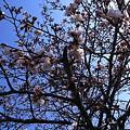 Photos: 桜枝越しの青