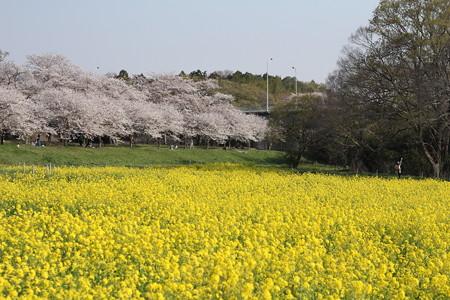 福岡堰の桜と菜の花