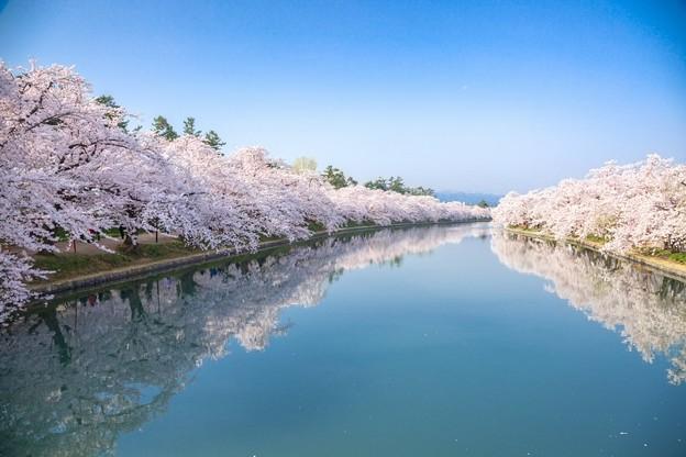 桜のトンネル弘前城西濠@弘前公園