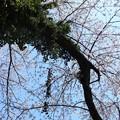 写真: ツタが這う桜の木