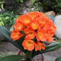 Photos: クンシランが咲きました
