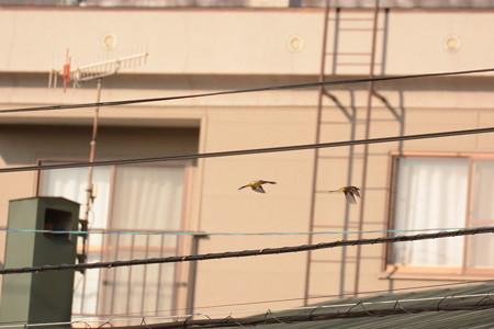 縄張り争いするキセキレイ2羽