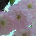 Cherries in the Evening 5-12-14