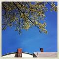 写真: Maple Flowers and the Roofs 5-8-14