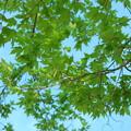 写真: Maple 5-21-14