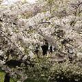Photos: GW東北旅行 弘前城の桜