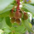 Photos: ヒメイチゴの木の実(別名ストロベリ-ツリ-)