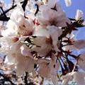Photos: 桜(UPで)