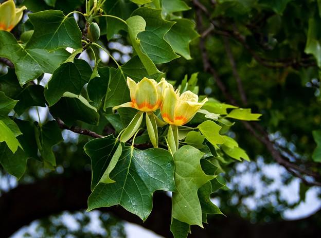 P5098020s百合の木の花5