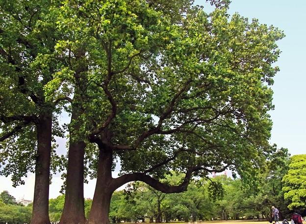 R6285412g百合の木樹高40m