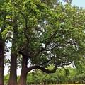 Photos: R6285412g百合の木樹高40m