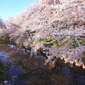 Photos: 五条川桜まつり1