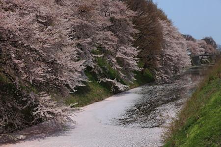 霞城公園桜吹雪