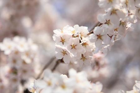 長井市 国天然記念物 久保の桜エドヒガン満開