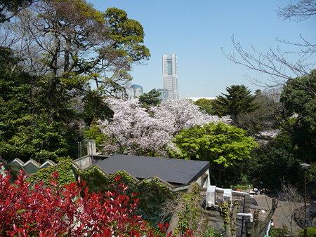 090409-野毛山動物園の桜