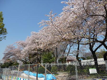 090409-野毛山公園の桜 (5)