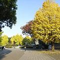 イチョウと上野公園