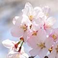 Photos: 龍岡城跡のサクラ2_DSC_3520