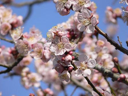 梅の花 桃