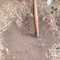写真: 掘ってます
