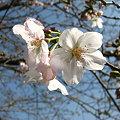 慈眼寺公園の桜