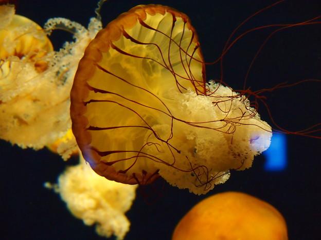 新江の島水族館 優雅なジェリーフィッシュ