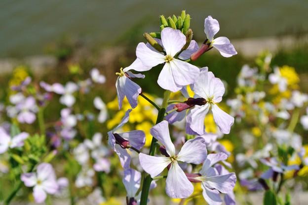 大根の花と菜の花