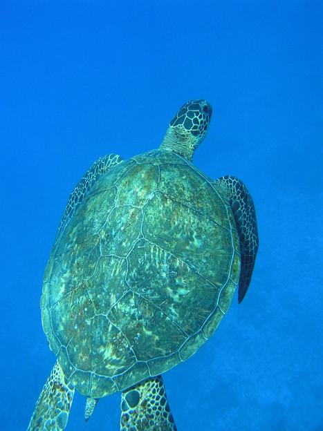 Photos: アオウミガメ