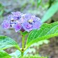 寂しげな紫陽花
