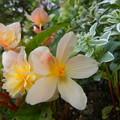 八重咲きと一重咲きが混在するベゴニア