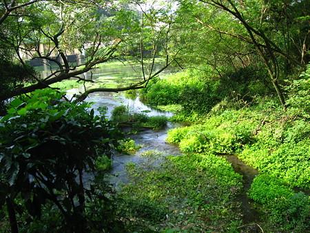 緑鮮やかな柿田川♪