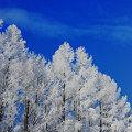 写真: 白い樹