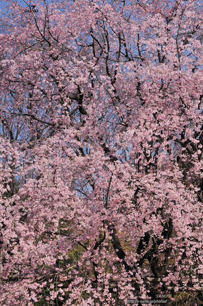 しだれ桜 満開
