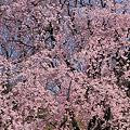 Photos: しだれ桜 満開