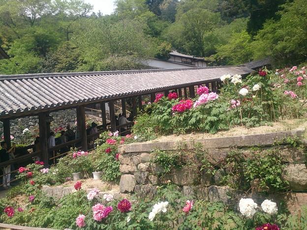 長谷寺の登廊と牡丹