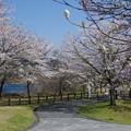 写真: 宮ヶ瀬の桜3