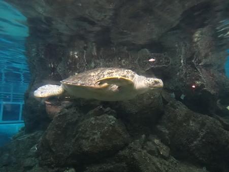 ウミガメ (2)