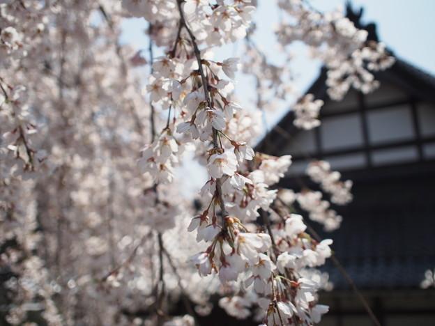 蓮照寺 一本桜?