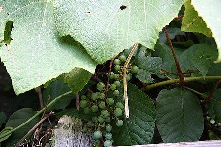 2008.08.10 平湯 神の湯 山葡萄