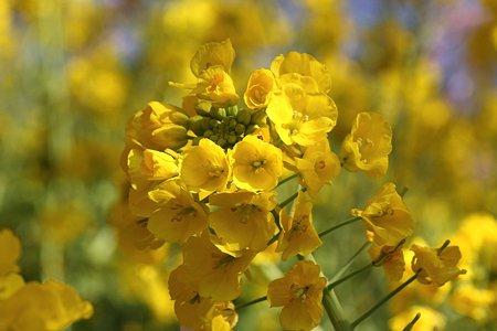 2009.02.21 松田山ハーブガーデン 菜の花
